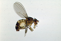 Adult Fruit Fly (Drosophila).