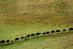 African Buffalo live in savanna and woodlands of central and southern Africa.
