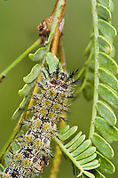 Juno Buckmoth Caterpillar (Hemileuca juno), a venomous, stinging caterpillar, feeding in Mesquite (Prosopis glandulosa), its host plant. Tucson, Arizona.
