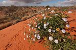 Desert wild flowers against the red sand dunes.