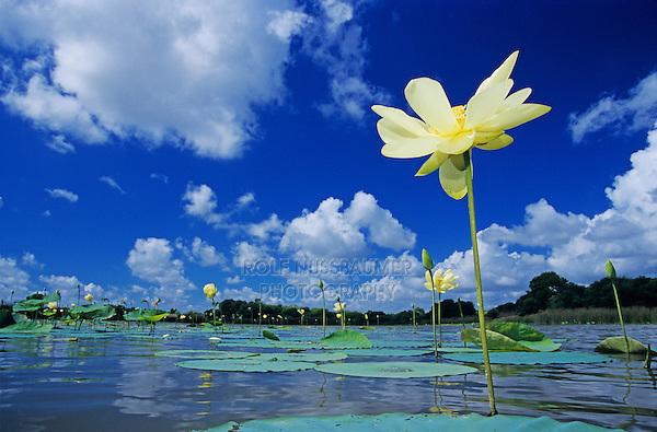 American Lotus, Nelumbo lutea, blooming, Welder Wildlife Refuge, Rockport, Texas, USA