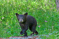 """Wild Black Bear (Ursus americanus) cub among wildflowers.  Western U.S., spring. (This is what is known as a """"coy""""--cub of the year.)"""