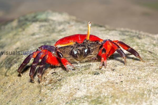 Fiddler Crab female (Uca pugnax), Yap, Micronesia.