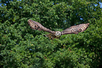 Cape Eagle Owl (Bubo capensis) adult in flight.