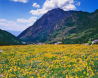 Alpine Sunflowers in Albion Basin, Wasatch Mountains, Wasatch/Cache National Forest, Utah