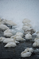 At the edge of the ice, tundra swans (Cygnus bewickii) wait out a heavy snowfall on Lake Suwa, winter 2014.