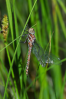 339600006 a wild teneral male shadow darner aeshna umbrosa perches on bogside water plants in central modoc county california