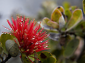 Close up of ohia lehua flower with dew in the morning mist
