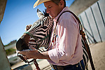 Stockman Aryn Hedrick of Nickerson, Kansas puts a bridle on a zebra at the 51st annual International Camel Races in Virginia City, Nevada  September 12, 2010. .CREDIT: Max Whittaker for The Wall Street Journal.CAMEL