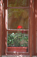 Rose through Pane