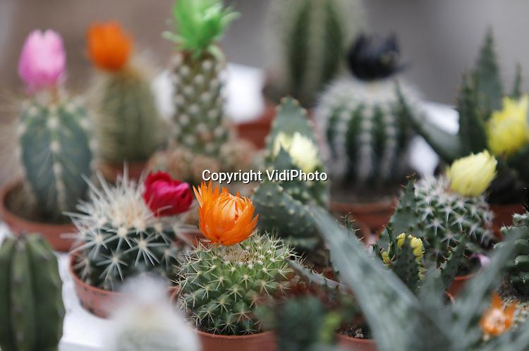 Foto: VidiPhoto<br /> <br /> BEMMEL - Werkzaamheden bij cactuskweker Derksen Plant BV in Bemmel. Eigenaar is Robert Jan Derksen. Het bedrijf kweekt en verwerkt jaarrond meer dan honderd verschillende soorten cactussen en is 1,7 ha. groot.