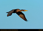 Double-Crested Cormorant, Sunset Flight, Sepulveda Wildlife Refuge, Southern California