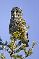 Sleepy Great Grey Owl roosting in a pine tree