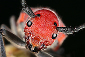 Red Milkweed Beetle head (Tetraopes tetraophthalmus).
