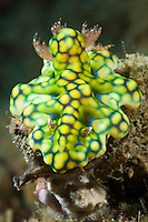 Nudibranchs, or sea slugs, advertise their toxic nature with brightly colored markings and patterns on their skin.