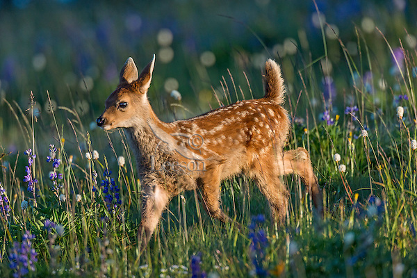 Columbian black-tailed deer (Odocoileus hemionus columbianus) fawn walking through subalpine meadow covered with wildflowers.  Pacific Northwest.  Summer.