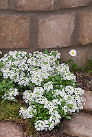 Lobularia Snow Crystals, Sweet Alyssum in white flowered bloom with Bellis, next to stone wall
