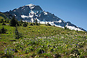 OR01665-00...OREGON - Wildflower covered meadow above McNeil Point Shelter on the side of Mount Hood in the Mount Hood Wilderness Area.