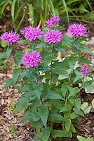 Dwarf Beebalm Monarda Petite Delight in lavender rose flowers