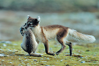 Arctic fox (Vulpes lagopus), female carrying young in mouth, Svalbard, Norway, Arctic