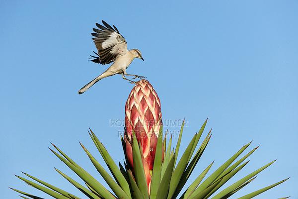 Northern Mockingbird (Mimus polyglottos), adult landing on blooming Trecul Yucca, Spanish Dagger(Yucca treculeana), Dinero, Lake Corpus Christi, South Texas, USA