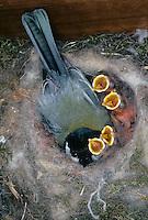 Kohlmeise, Altvogel hudert bettelnde, sperrende Küken im Nest, Kohl-Meise, Meise, Parus major, great tit