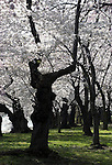 National Cherry Blossom festival Tidal Basin Washington DC, Cherry blossom Washington DC, Cherry trees in flower, Cherry trees in bloom, Japanese cherry trees, Tidal Basin, West Potomac Park, United States and Japan, Gifu Prefecture, Washington DC, Politics in the United States, Presidential, Federal Republic, united States Congress, Fine Art Photography by Ron Bennett, Fine Art, Fine Art photo, Art Photography,