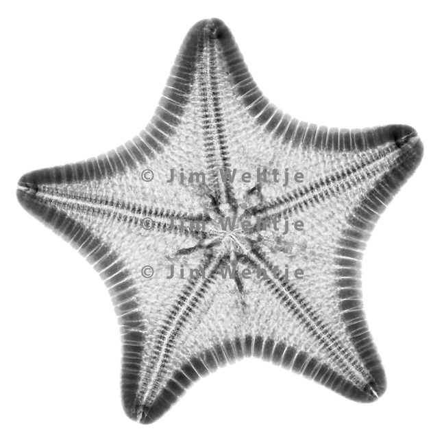 Starfish X-ray Photograph by Scott Camazine