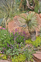 Yucca rostrata aong with salvia and beargrass are part of a collage of textures and forms that Dan Johnson has created in his Denver garden.
