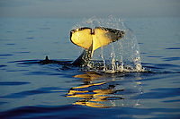 """Orca Whale or Killer Whale (Orcinus orca) """"tail slapping""""--common behavior. Pacific Northwest."""