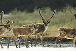 A herd of caribou bulls walk across a large patch of aufeis along the Kongakut River.