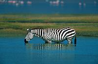 Zebra drinking lake water, Serengeti National Park, Tanzania, Africa