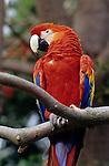 Scarlet Macaw on a tree limb at the San Diego zoo San Diego California USA