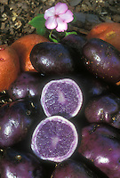 Potatoes, blue-skinned and purple blue interior, cut open and whole, in front of red-skinned potato variety, after harvest
