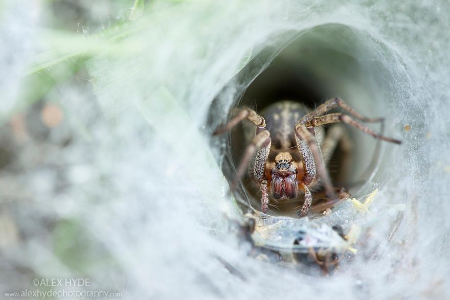 Labyrinth spider {Agelena labyrinthica} waiting in funnel web for prey. Nordtirol, Tirol, Austrian Alps, Austria, 1700 metres altitude, July