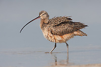 Long-billed Curlew (Numenius americanus) puffing its feathers at Fort Desoto Park, near St. Petersburg, Florida.