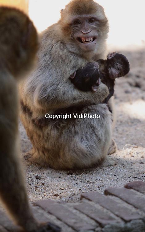 Foto: VidiPhoto..RHENEN - Help! Je bent mijn moeder niet, lijkt dit jong te roepen. En dat klopt. Een verwarde berbermoeder vergiste zich woensdag in haar jong en ontvoerde de baby van een andere moeder. Dit tot grote consternatie van het jong, de echte moeder en de rest van de apenkolonie. Daarna greep het verwarde vrouwtje maar beide jonkies, zodat de goede baby er in ieder geval bij zat. Uiteindelijk kwamen alle apen weer op hun pootjes terecht.
