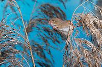 Zwergmaus, Zwerg-Maus, Eurasische Zwergmaus, Maus, Mäuse, Halmkletterer, Micromys minutus, Harvest Mouse, Eurasian Harvest Mouse, Rat Des Moissons