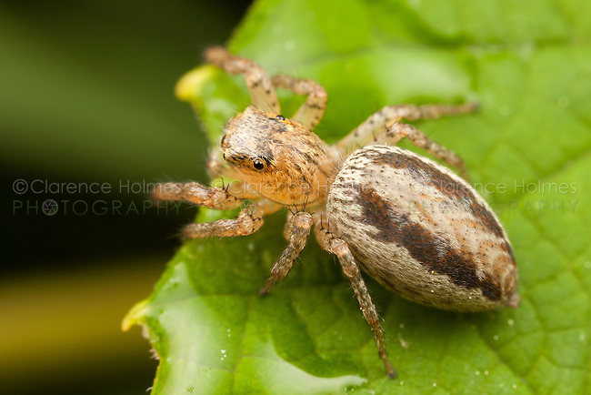 Dimorphic Jumper (Maevia inclemens) - Female, Ward Pound Ridge Reservation, Cross River, Westchester County, New York
