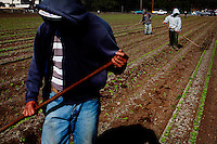 Oceano, California, November 1, 2011 - Migrant workers till fields of strawberries in the town of Oceano. As a part of an effort to help bridge some of the contrasts in school performance here, the 10,800-student school district of Lucia Mar recently became the first in California to adopt, in four of its schools, the Teacher Advancement Program (TAP) school-reform initiative. The complex model couples professional development, teacher observations keyed to a set of teaching standards and  leadership opportunities for teachers. .
