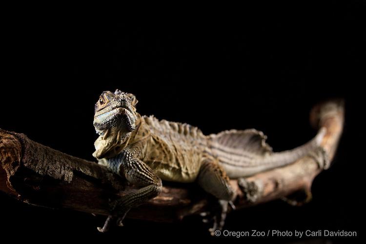 Philippine Sailfin lizard (Hydrosaurus pustulatus)