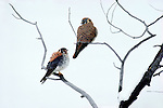 An American Kestrel pair rest in a tree in Yellowstone National Park.