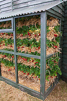 Strawberries Grown in Vertical Tiers