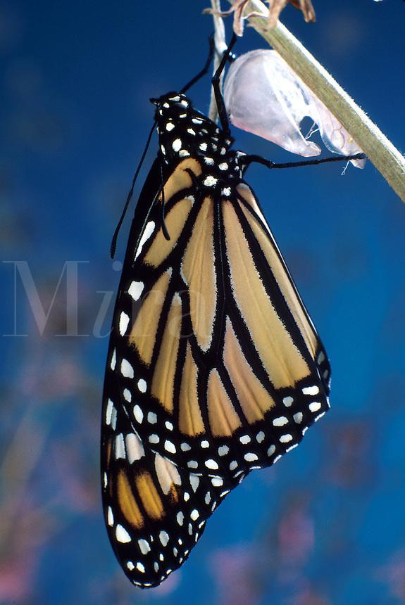 Monarch butterfly and chrysalis. LEPIDOPTERA Danaidae Danaus plexippus. Utah.