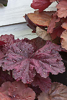 Foliage plant Heuchera Beaujolais