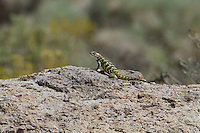 442800023 a wild yellow-backed spiny lizard sceloparus uniformis perches on a large rock in mono county california