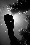 Catalina Island, Channel Islands, California; photographer Matthew Meier's fin with sun rays and Giant Kelp (Macrocystis pyrifera)