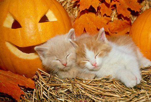 Two yellow kittens sleeping side by side between pumpkins in hay with fall leaves, midwest USA