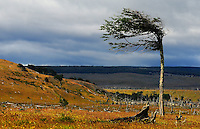 A tree bend by the strong winds near Magallanes Channel in South of Chile