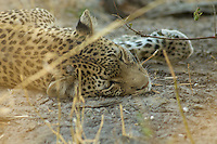 A relaxed leopard (panthera pardus) resting in the dust. <br /> Savuti, Botswana.<br /> September 2007.